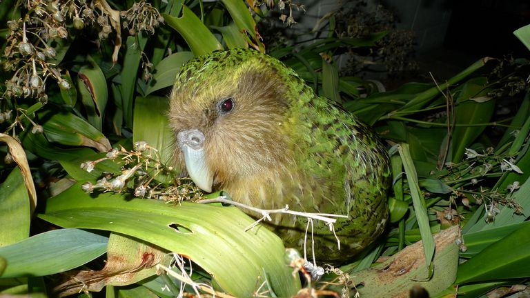 Kakapo Parrot bird with green feathers among leaves.