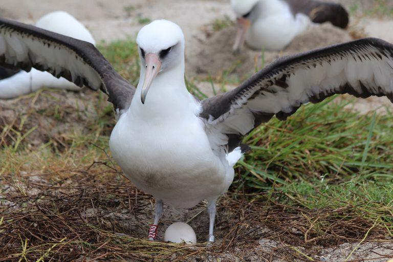 Wisdom, a Laysan albatross