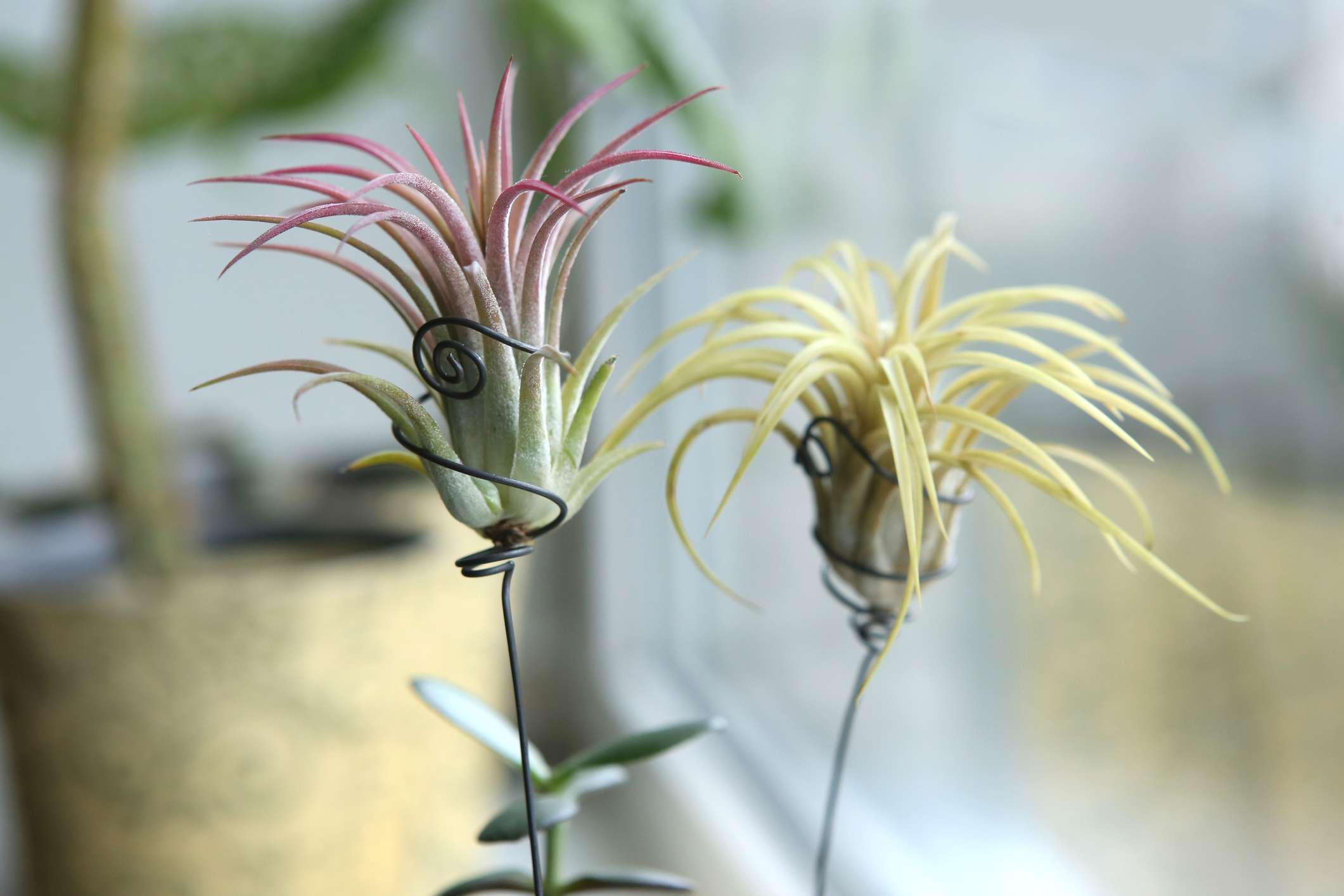 Two airplants with no pots in windowsill