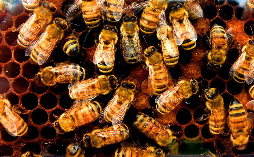 Honeybees crawling over a honeycomb.