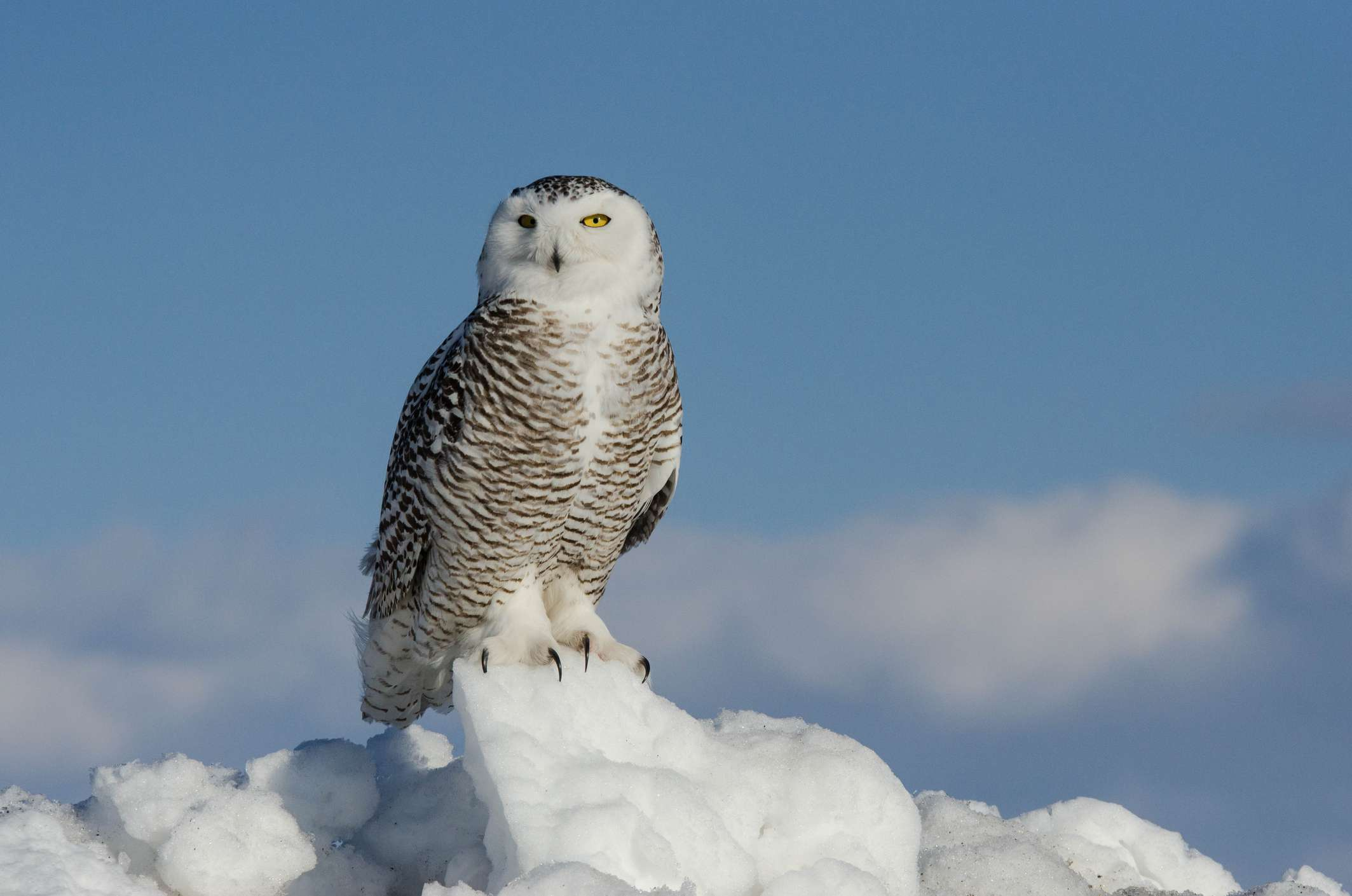 Snowy owl perched on a pile of snow