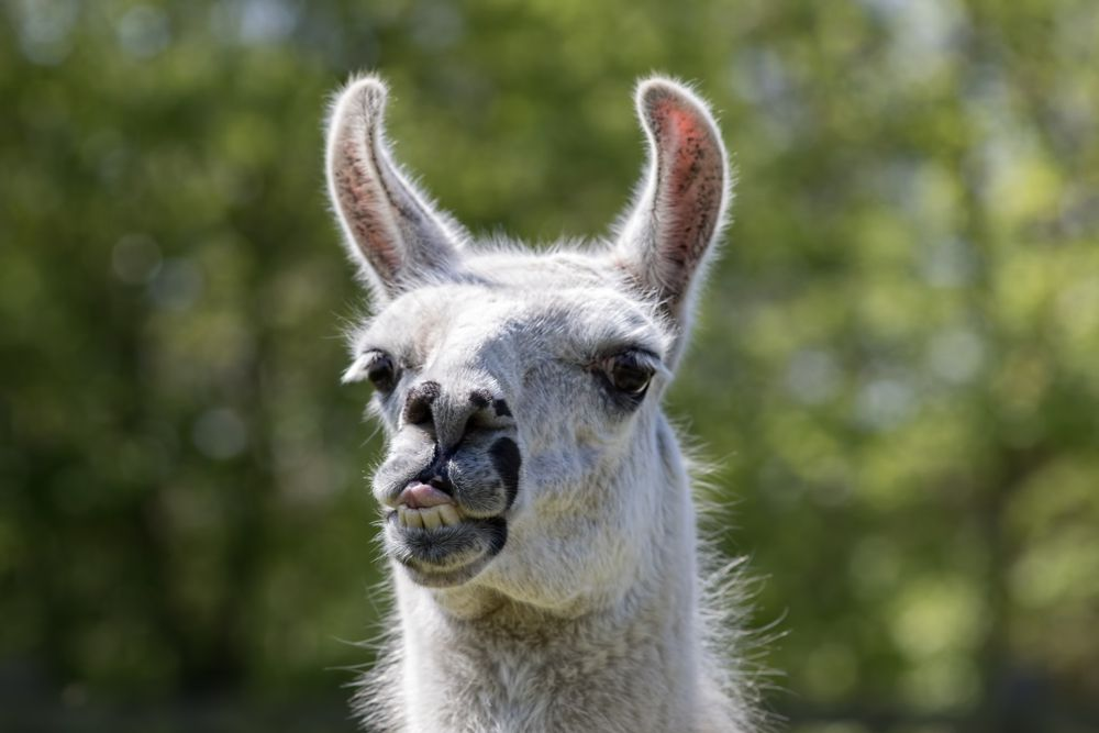 llama sticking its tongue out