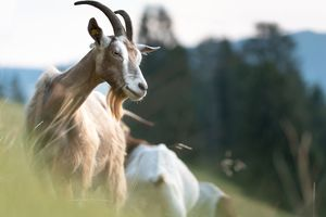 Close up of goat on pasture