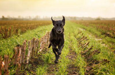 A labrador running in a field