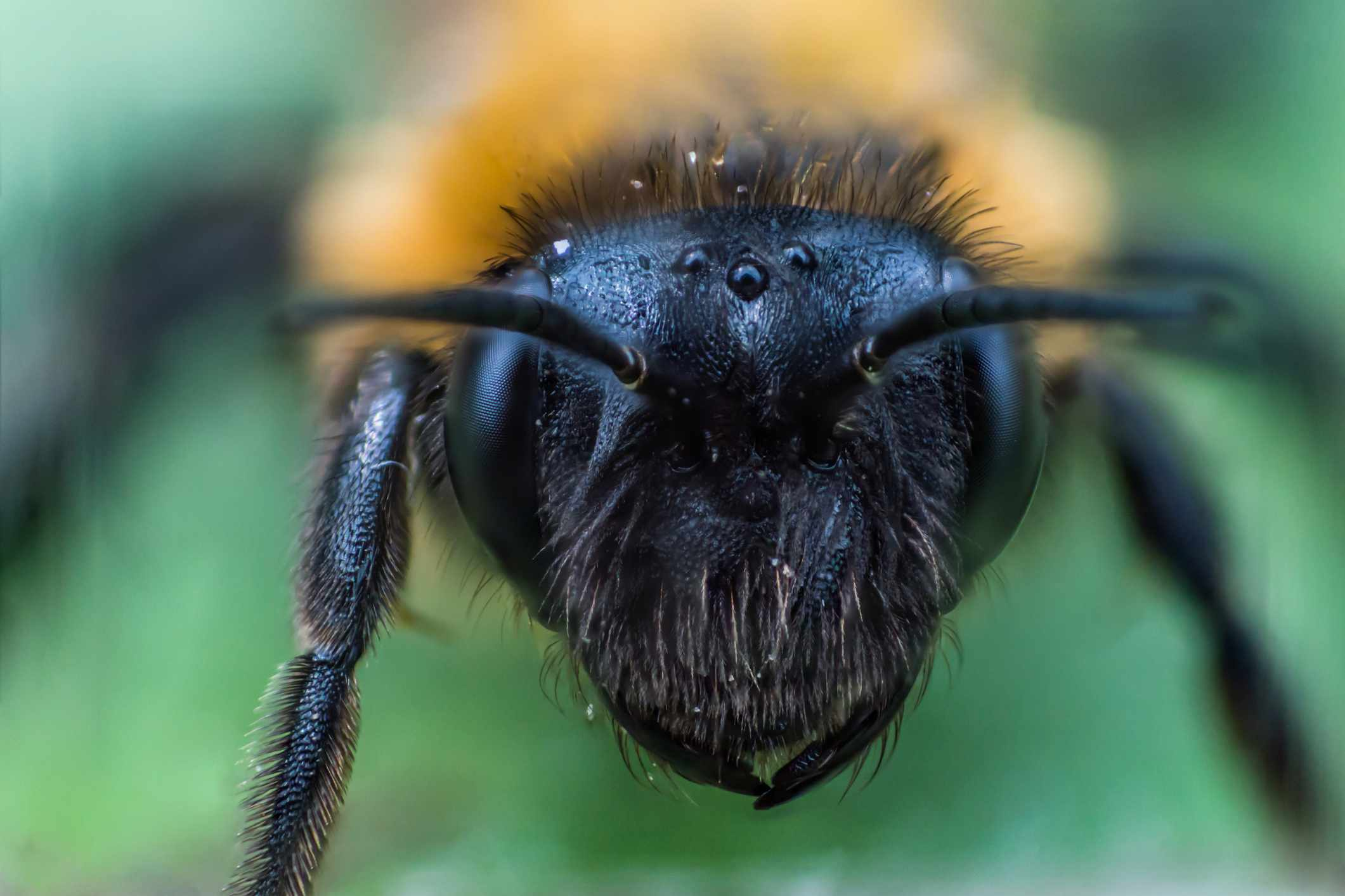 Close up of bumblebee eyes