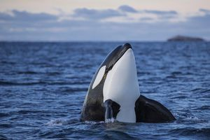 Orca or killer whale in the waters of Kaldfjorden, Norway