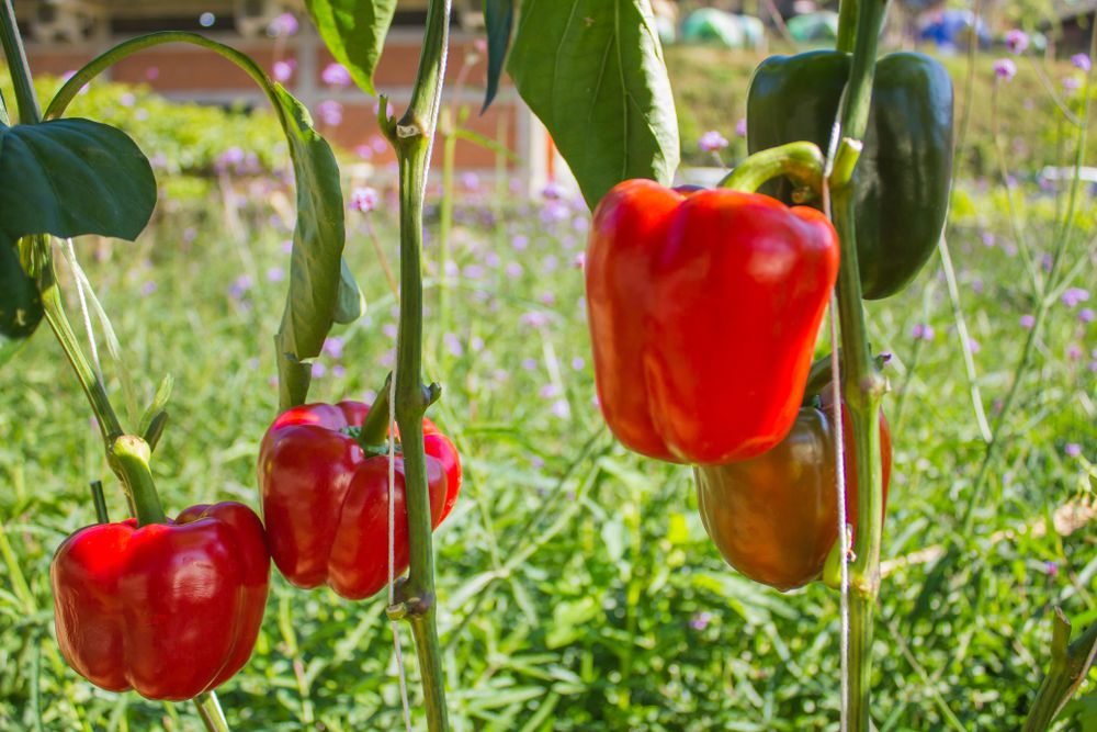red bell pepper plant