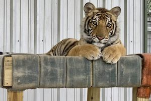 India relaxes at his new home at Black Beauty Ranch.