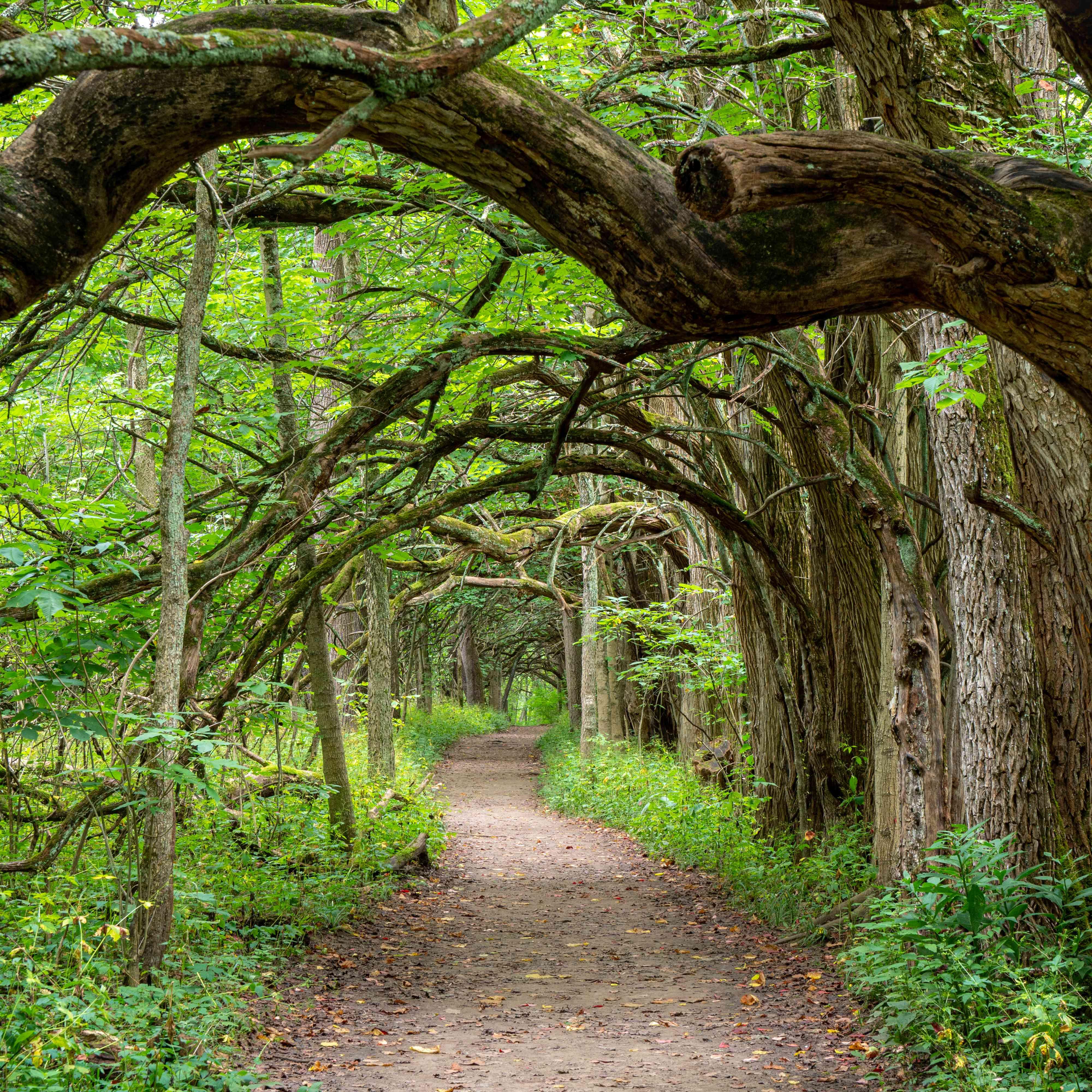 Tree tunnel of Osage trees at Sugarcreek Metro Park