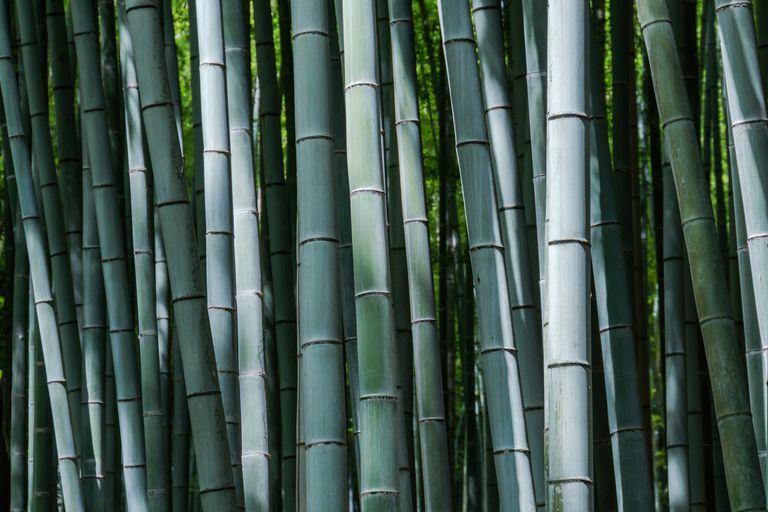 Moso bamboo, Arashiyama