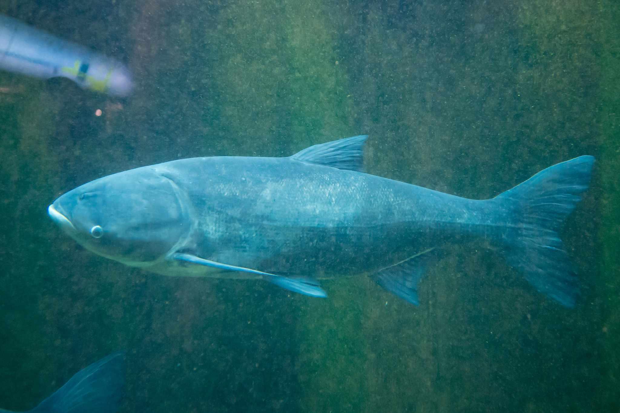 invasive carp in river