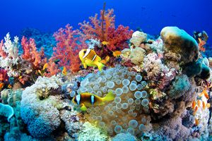A coral reef filled with clownfish, sea anemone, and red and white corals