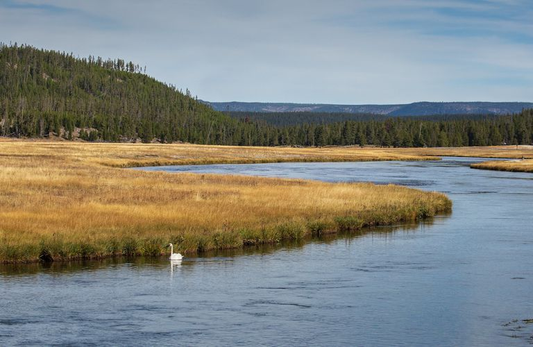 A trumpeter swan swimming in the Firehole River