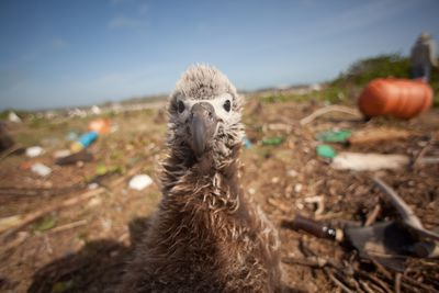 albatross chick on Midway Atoll