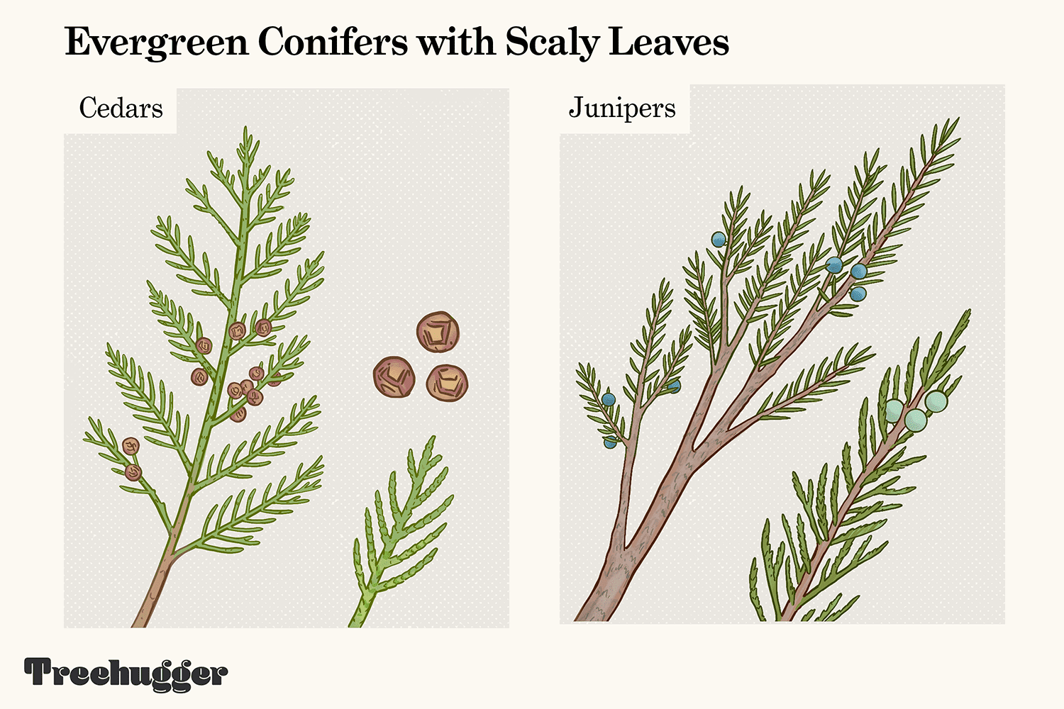evergreen conifer trees with scaly leaves identification illustration