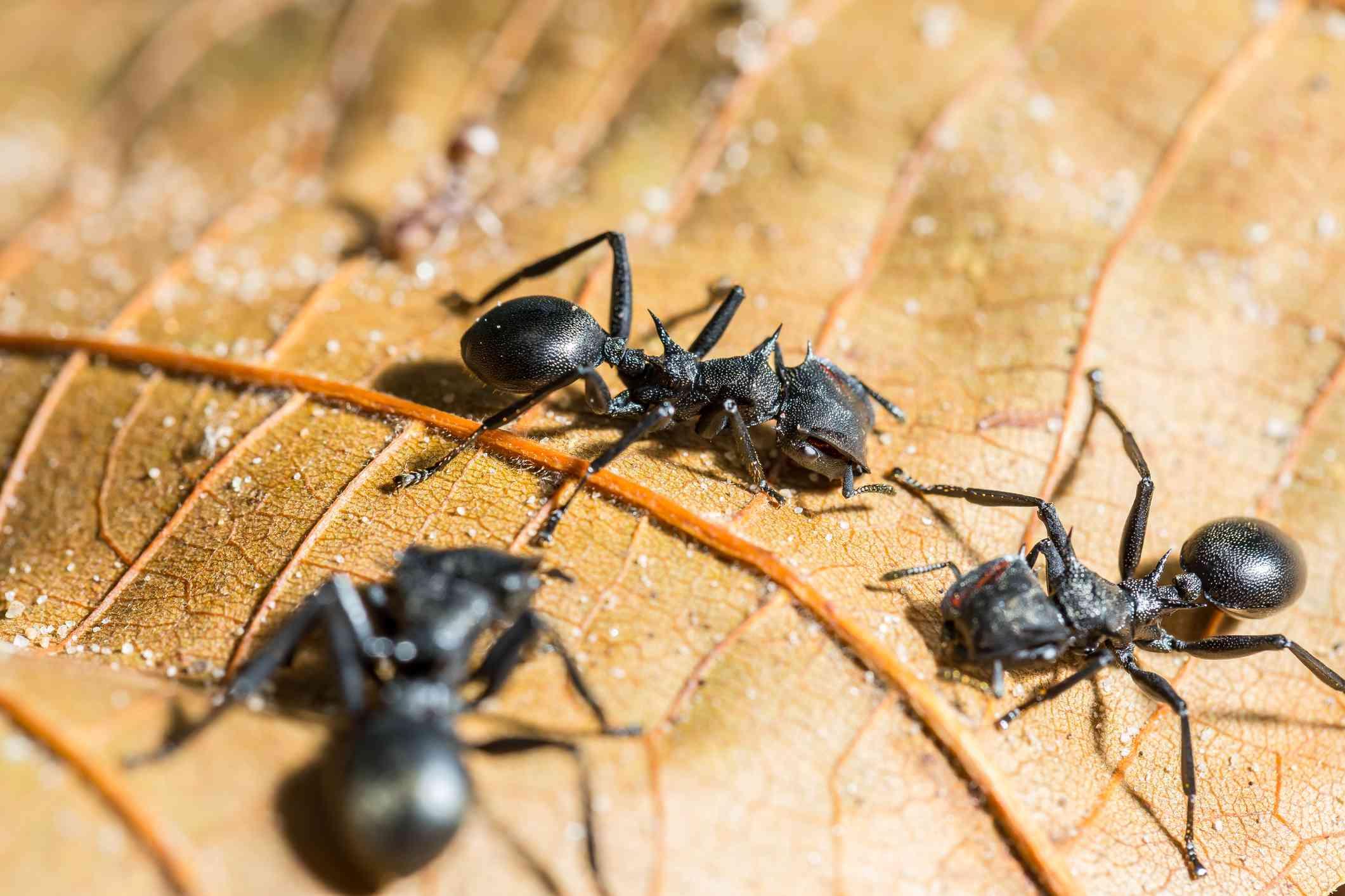 Three black bullet ants on a brown leaf