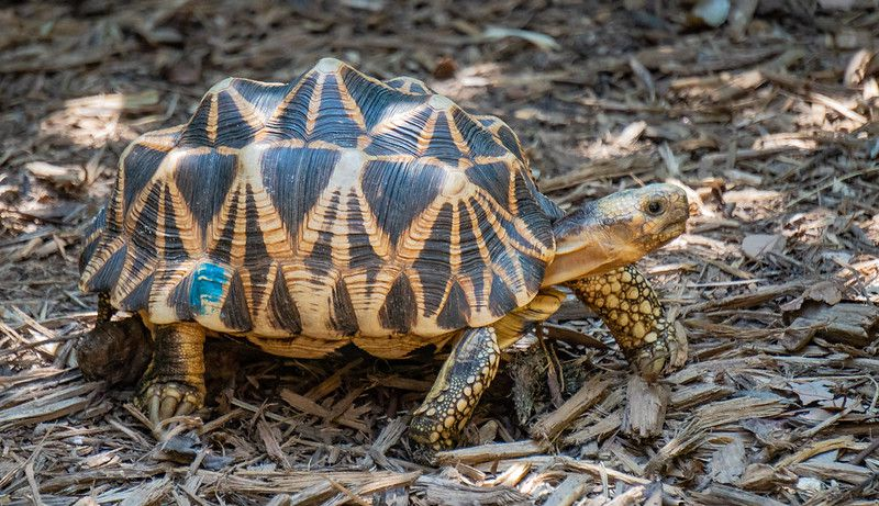 A Burmese star tortoise in the shade.