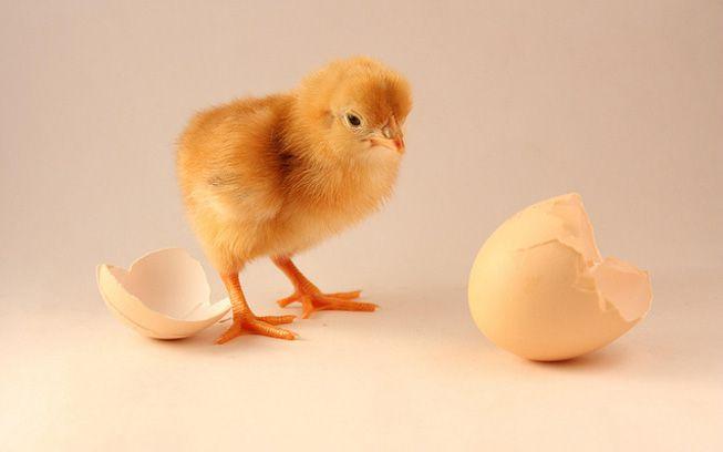 9 preguntas sobre el huevo y la gallina, finalmente respondidas
