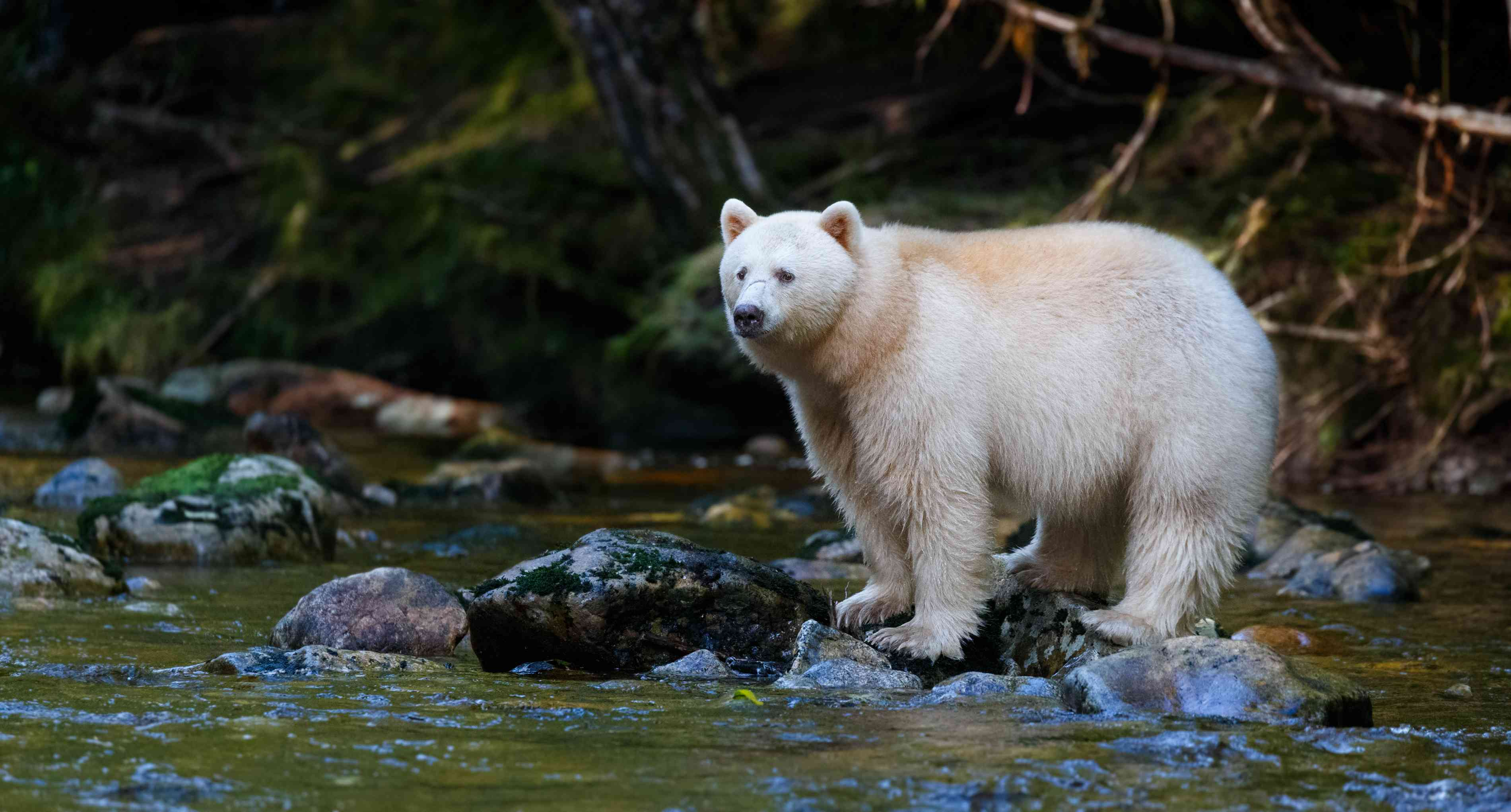 A white Kermode or spirit bear in British Columbia standing on ricks in a stream