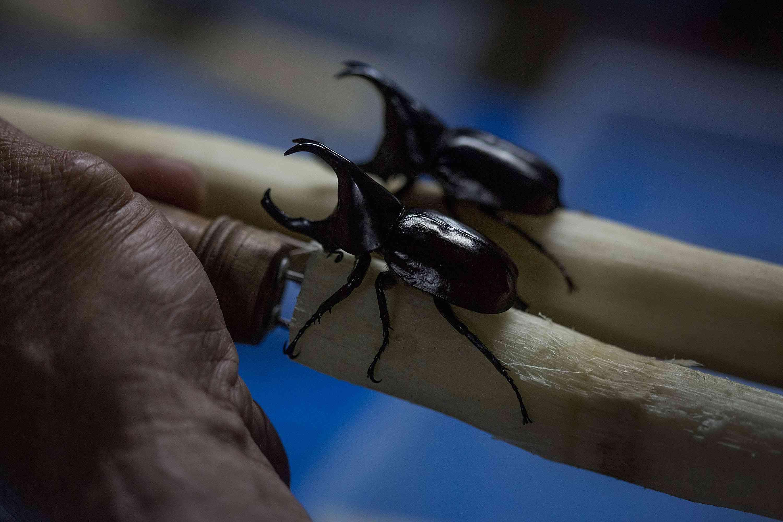 black rhinoceros beetles with large horns crawl on stick