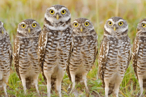 A parliament of burrowing owls.