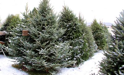 Fraser Fir Christmas trees for sale in a snow covered lot.