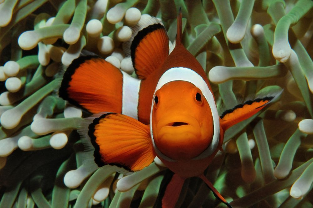 An orange and white clownfish swims in front of a sea anemone
