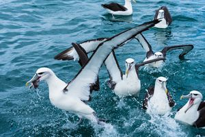 Albatross with fish