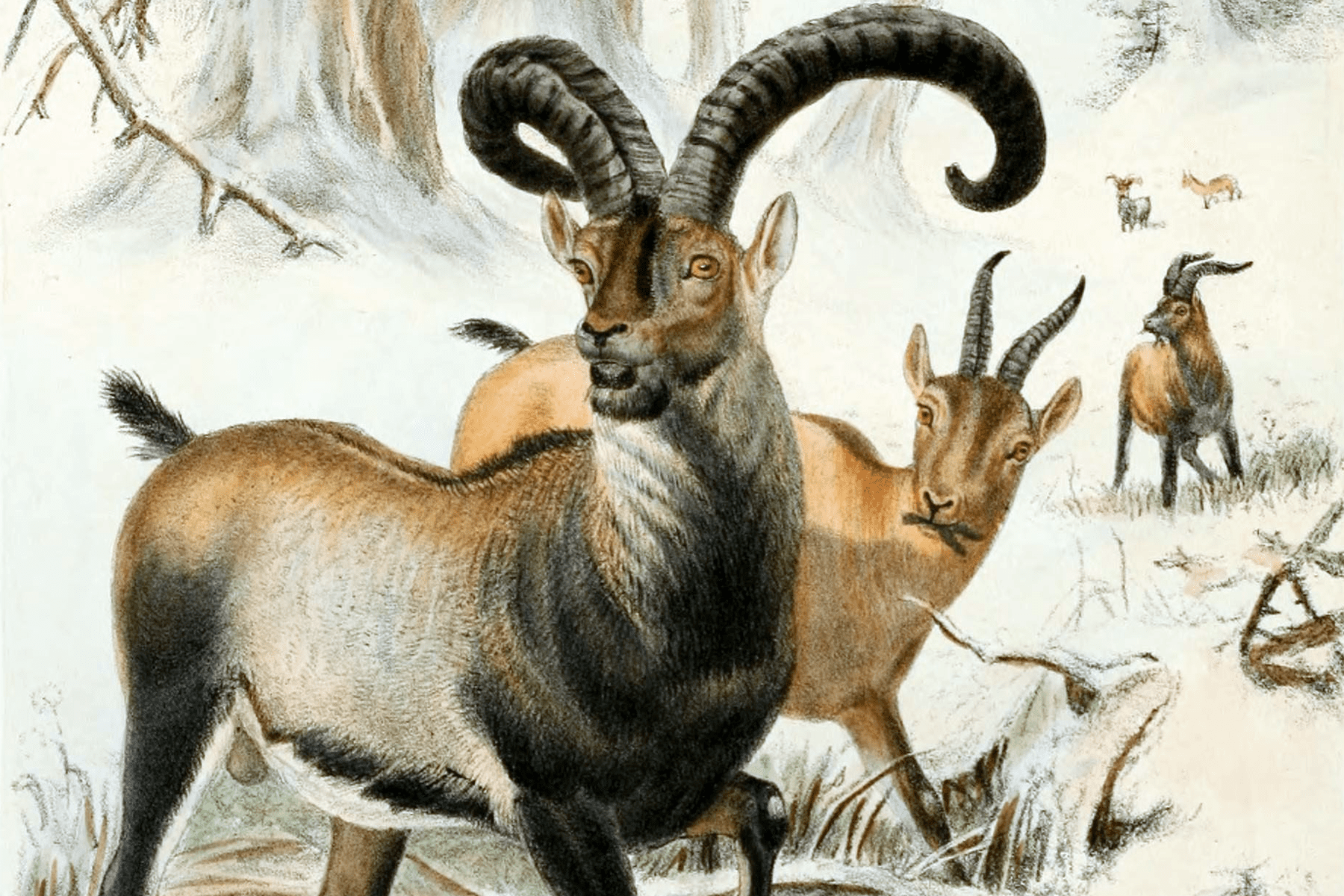 drawing of pyrenean ibex horned antelope like creatures on a snowy background