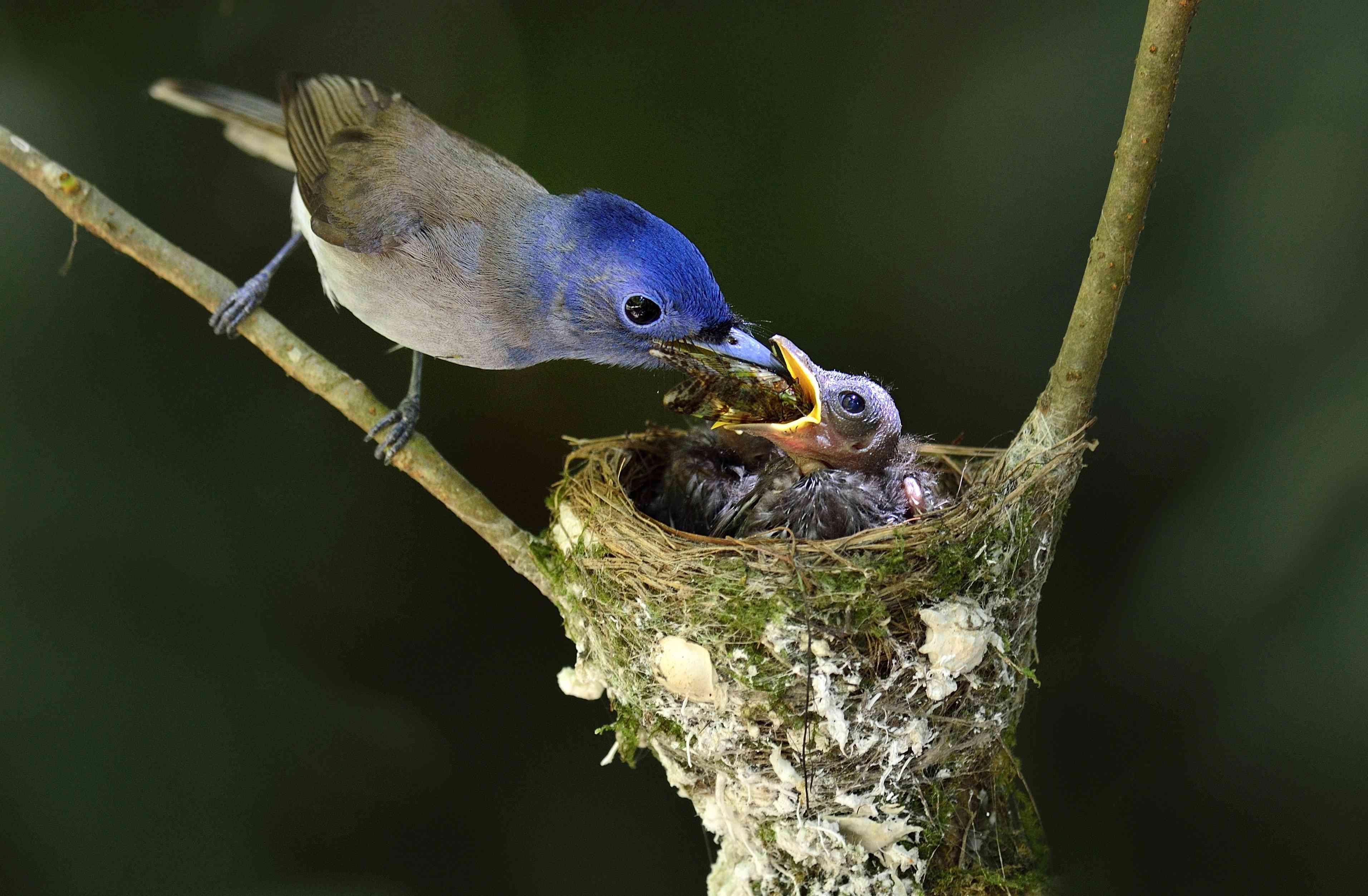female black-naped blue flycatcher feeding her chicks