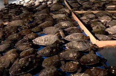 hundreds of stunned sea turtles