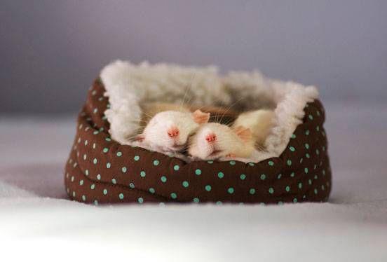 Rat sleep in a tiny pet bed