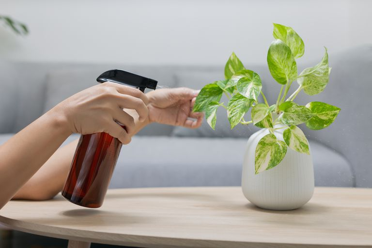 Using a spray bottle on a house plant.