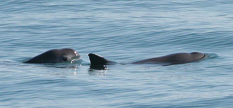 El avistamiento de jóvenes vaquitas ofrece esperanza para la marsopa más amenazada del mundo