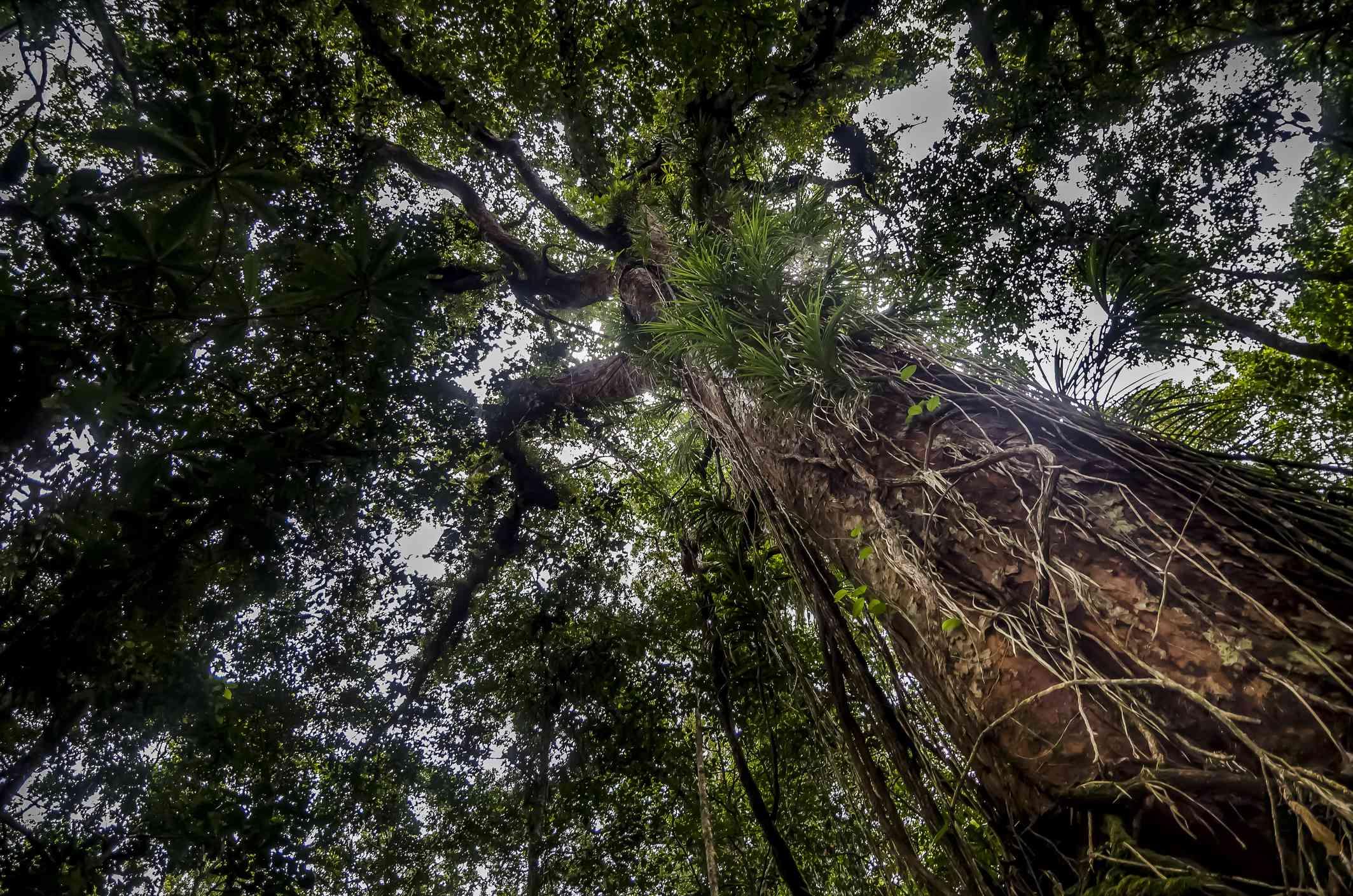 Strangler Fig tree (Ficus benjamina) in the rainforest