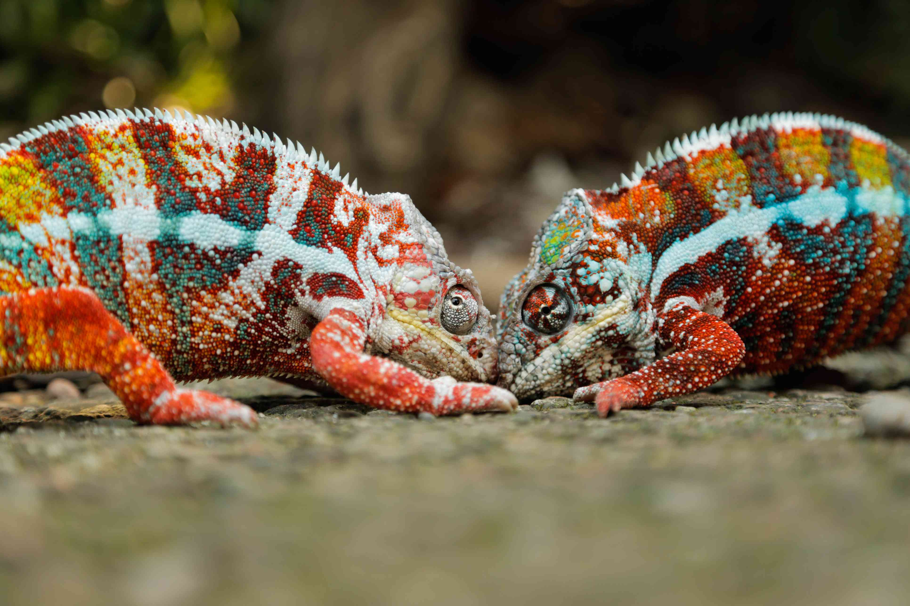 Two Chameleons are Fighting