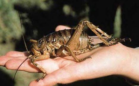 weta endangered photo