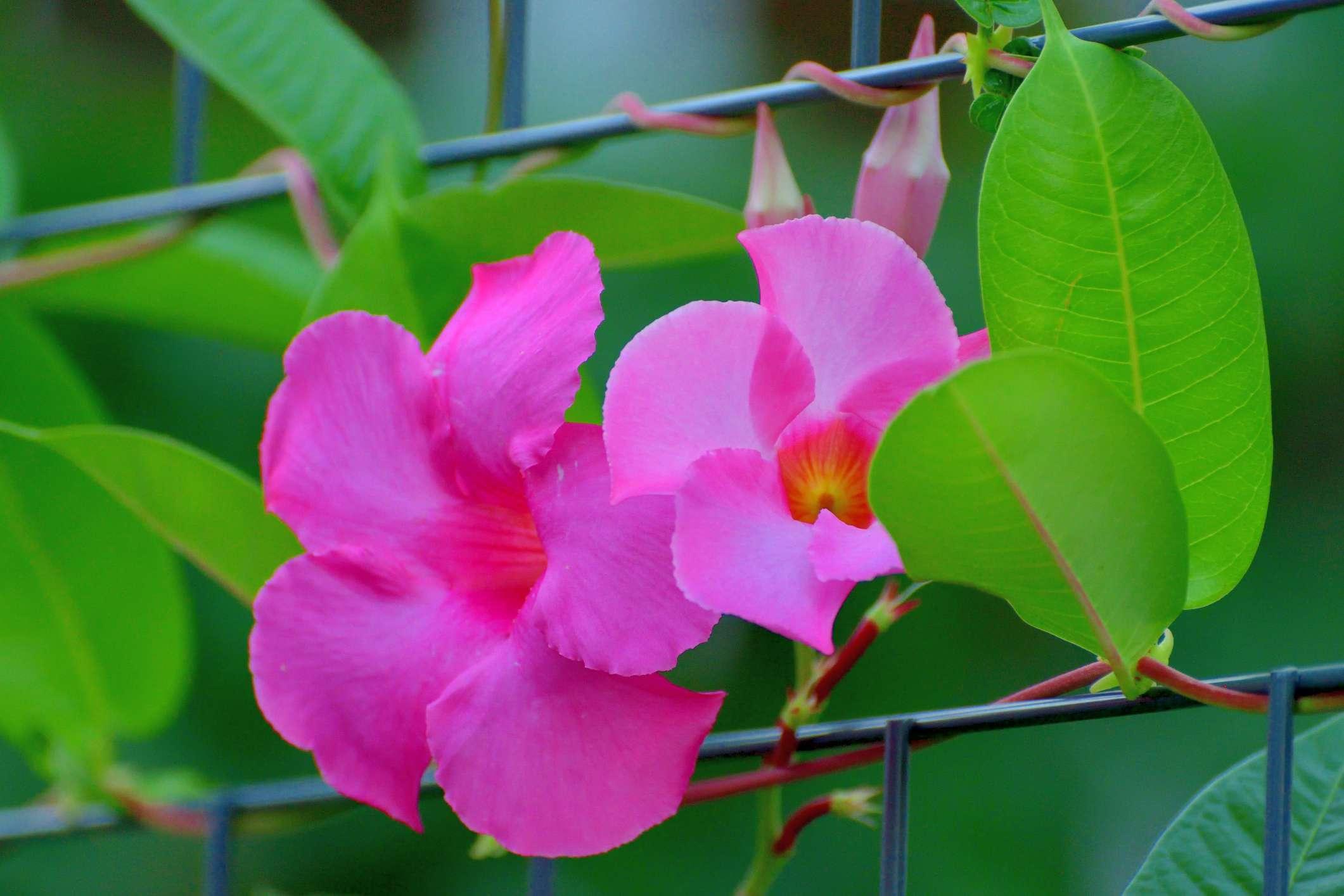 Mandevilla / Rock Trumpet Flower