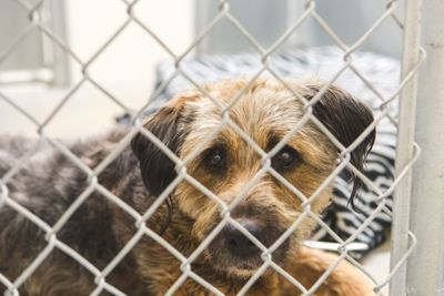 Sad Bearded Collie Mix Breed Dog Confined In Animal Shelter