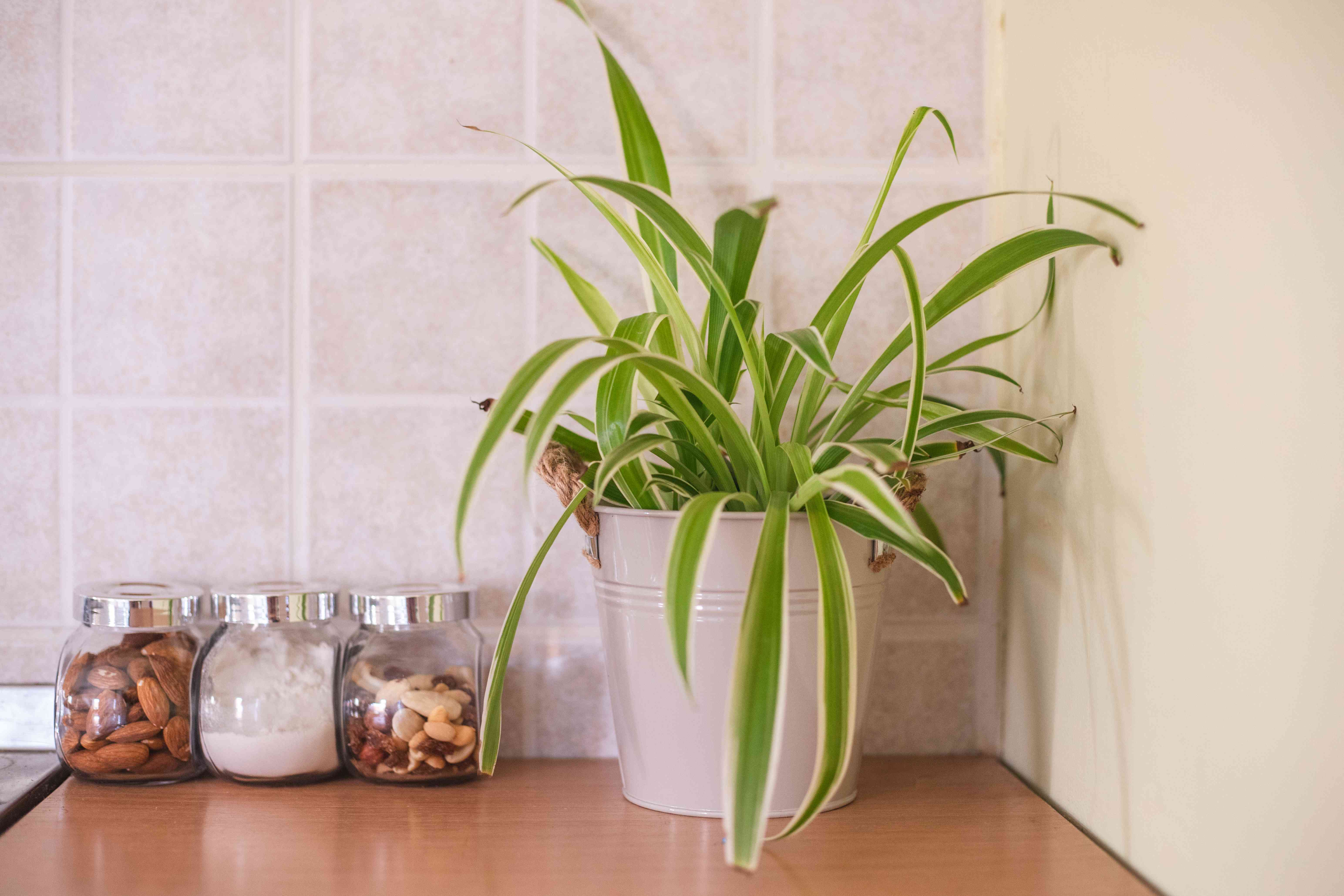 spider plant in metal pot sits in kitchen next to glass jars of food