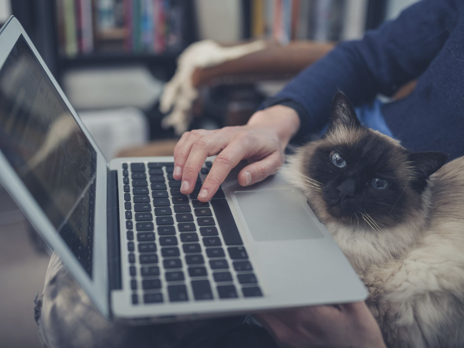 Siamese cat with laptop