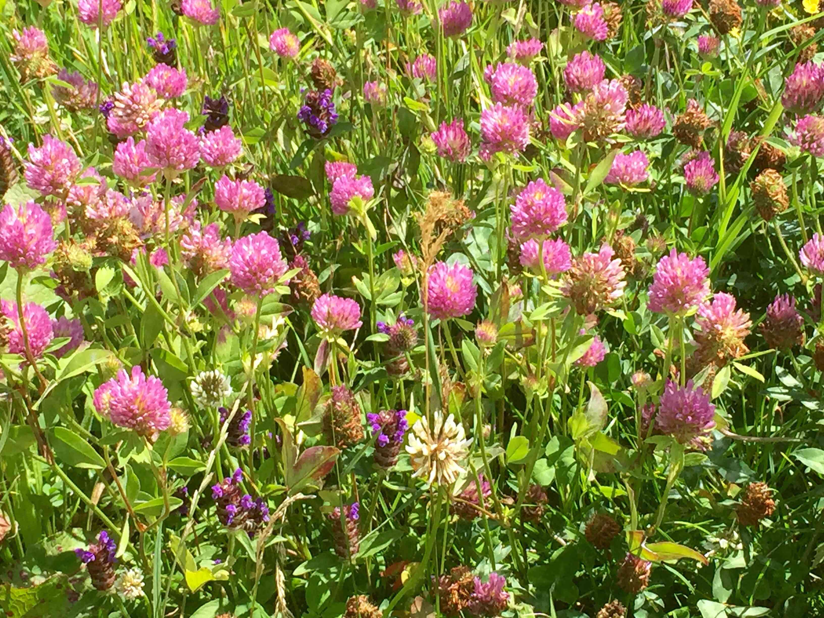 Red Clover Blooming In Lawn