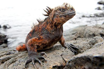 orange and black marine iguana with encrusted salt and spikes Marine iguana - Amblyrhynchus cristatus