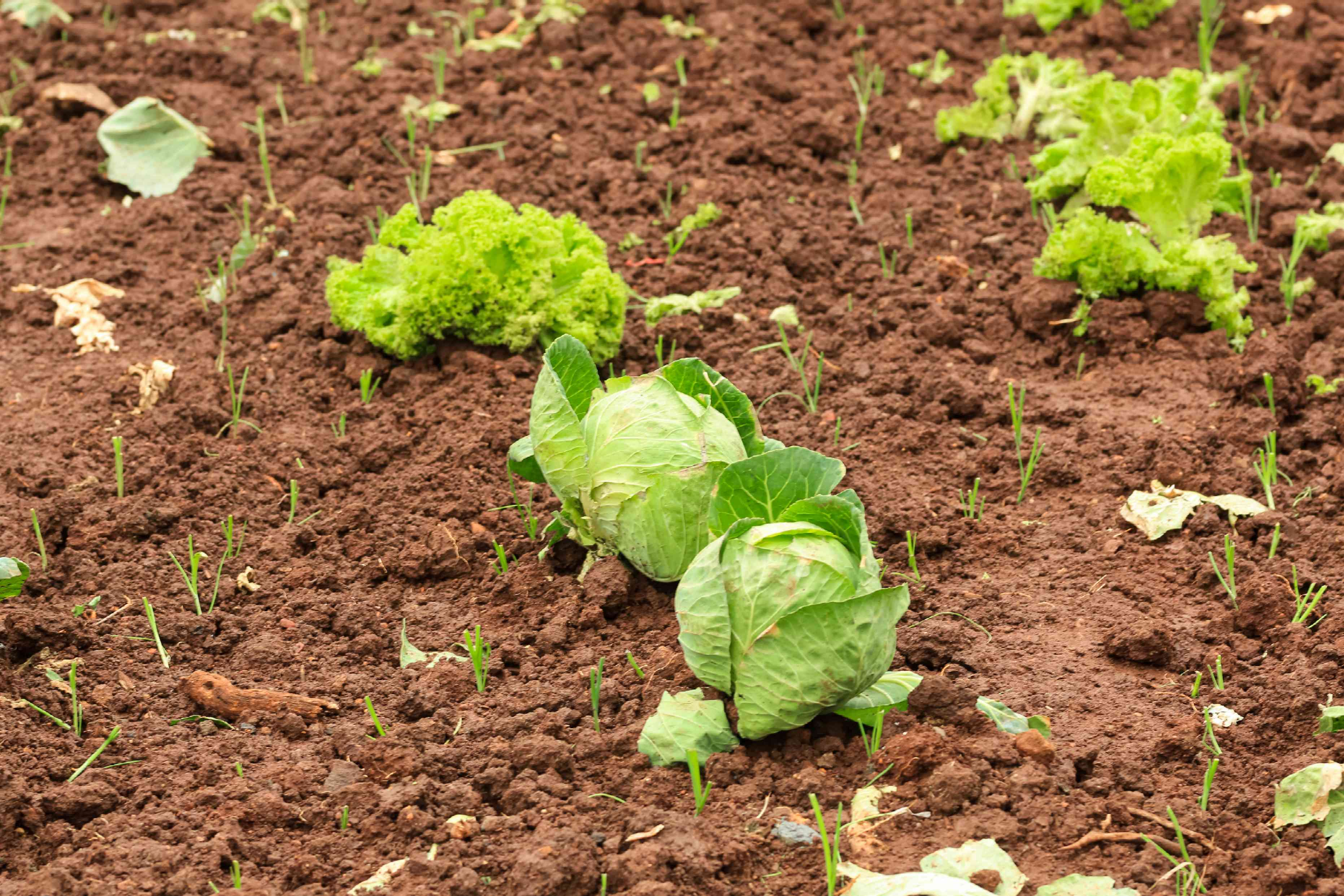 small cabbages in early stages of growing in brown dirt