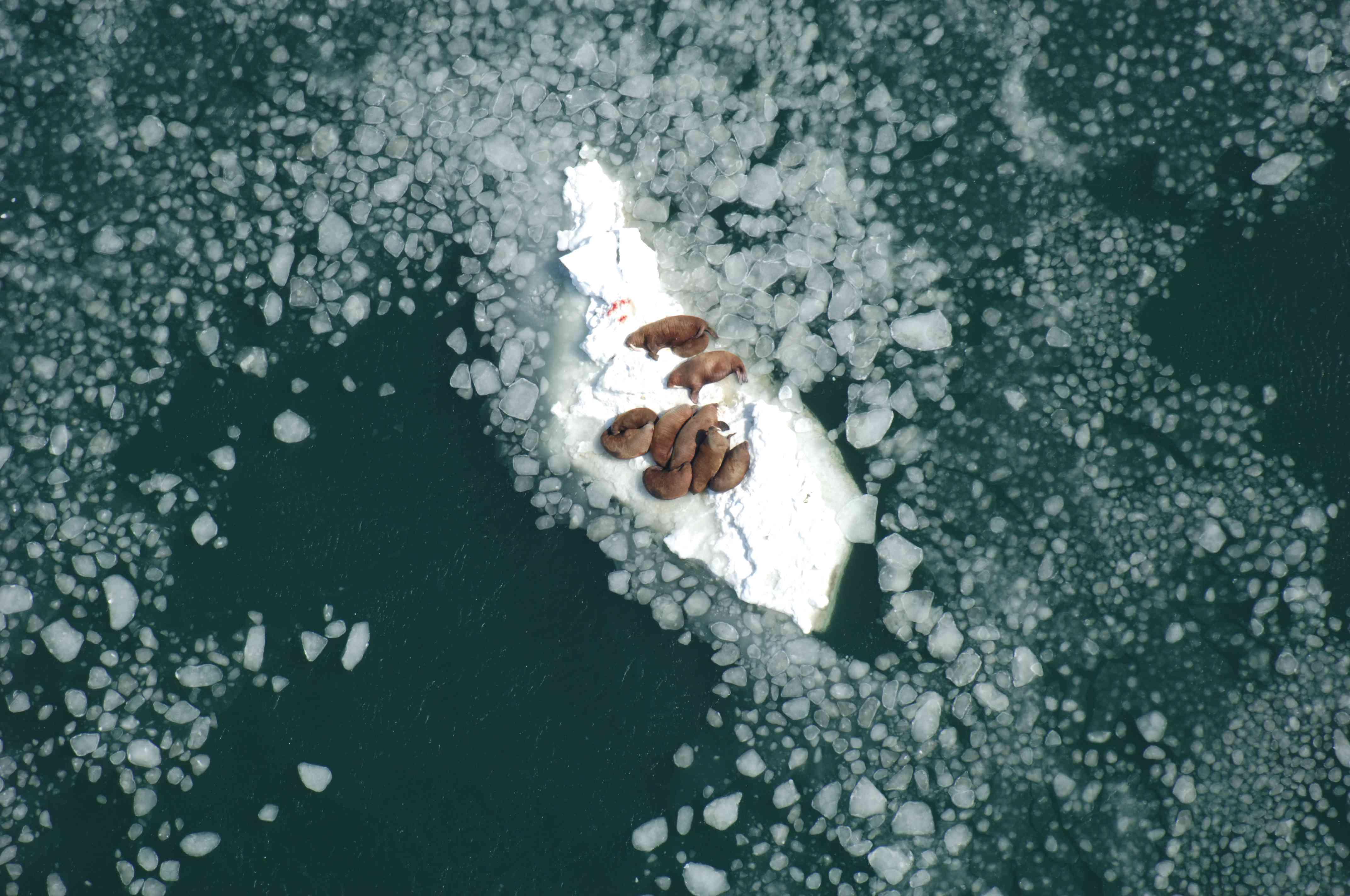 Walruses on an ice floe in Alaska.