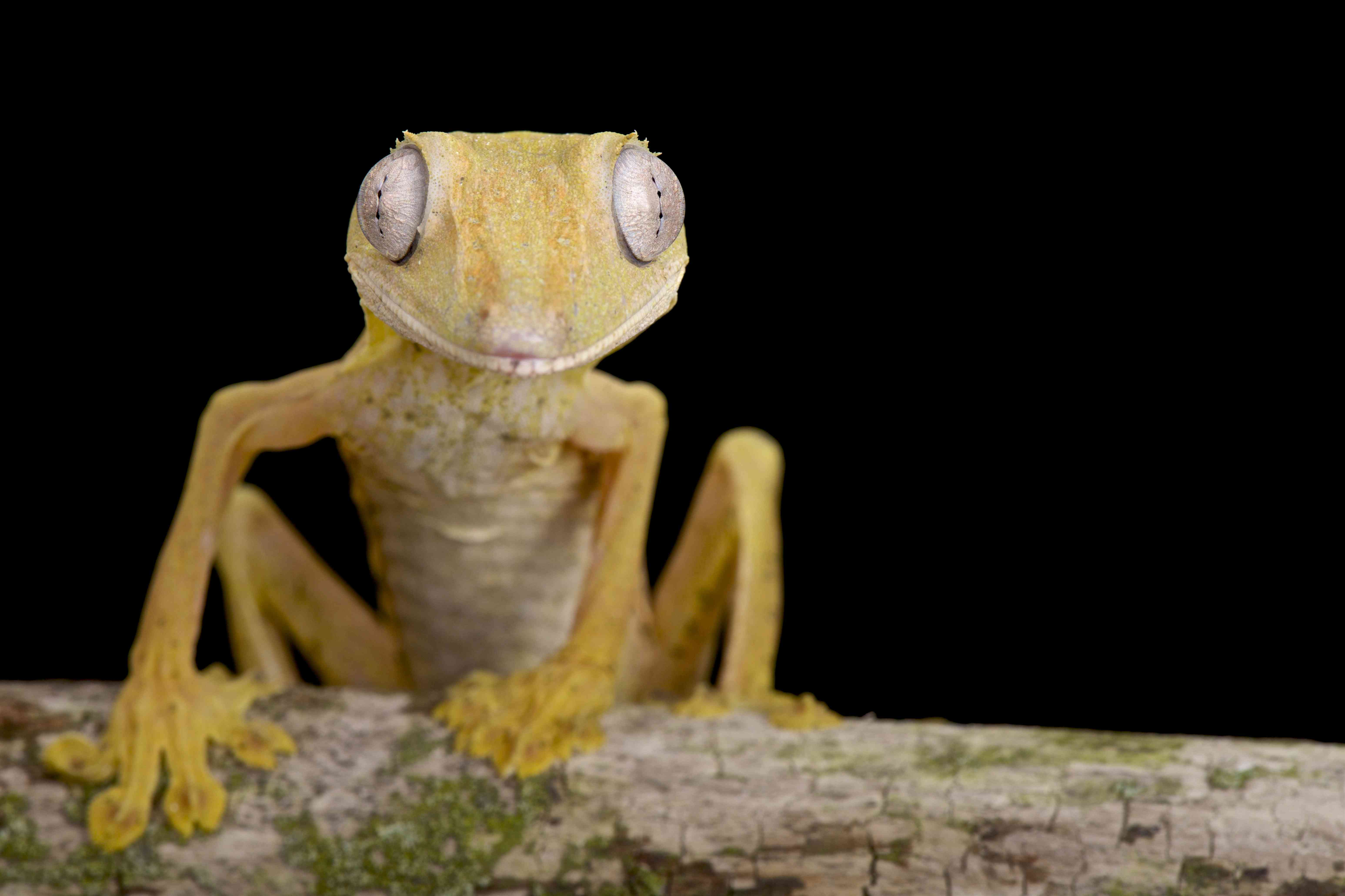 This leggy guy is a lined flat-tail gecko.