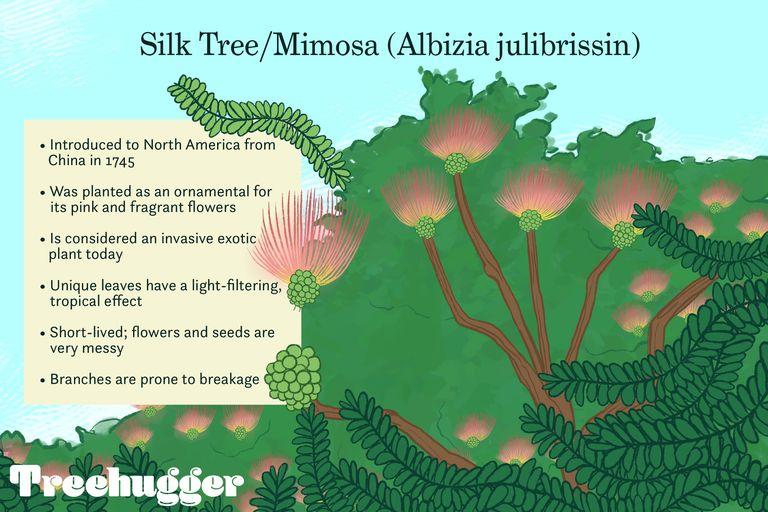 Silk Tree/Mimosa illustration