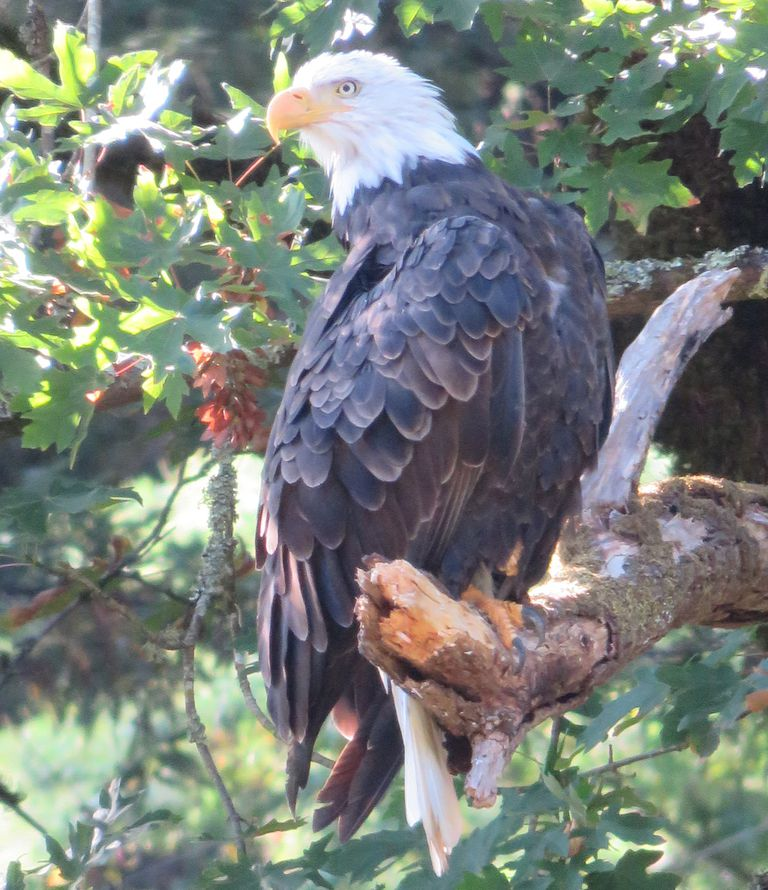 American Bald Eagle sitting on a tree branch