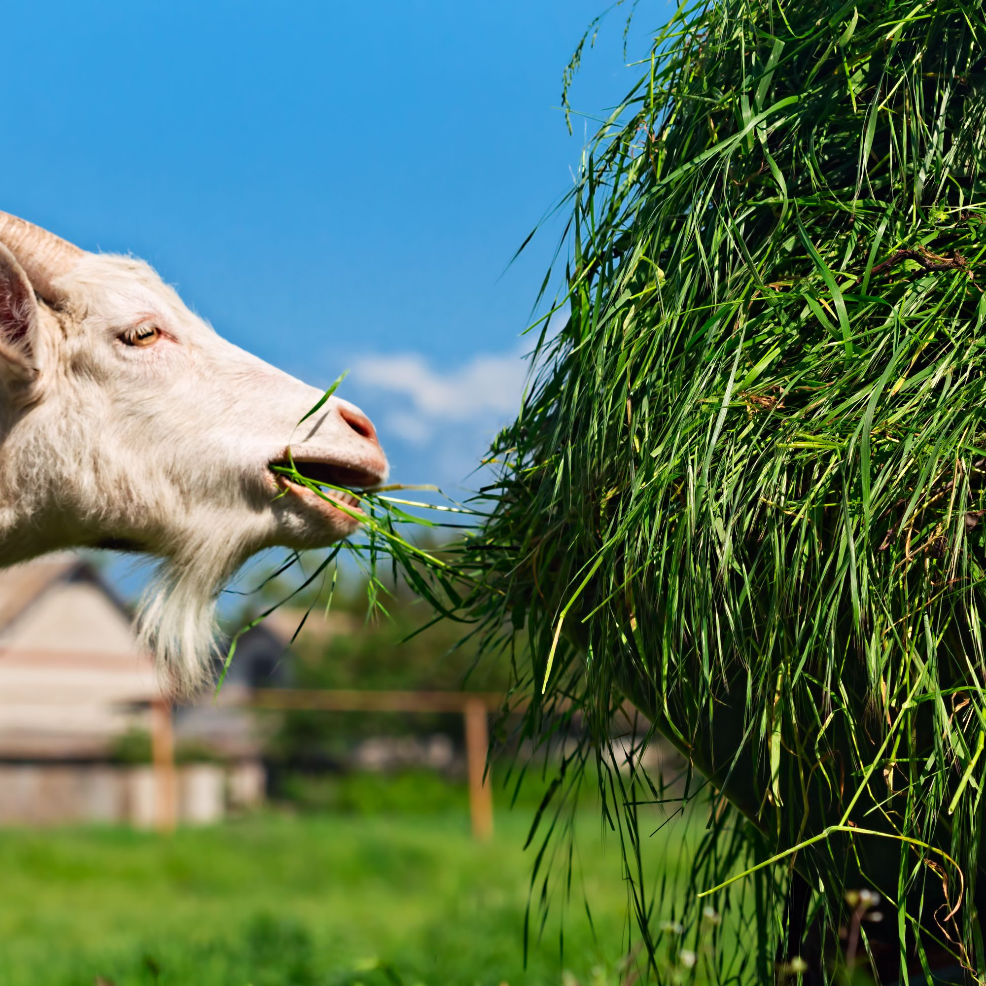 How To Feed And Tend Goats On The Small Farm