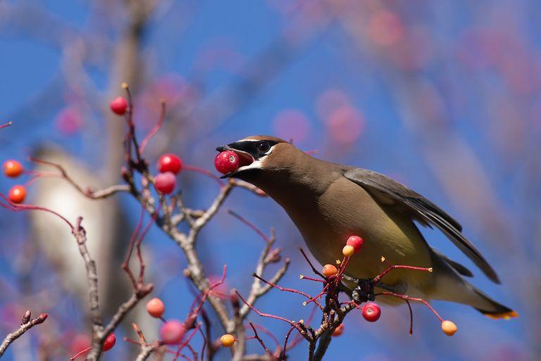 Por qué las bayas de Nandina y ciertos pájaros no se mezclan